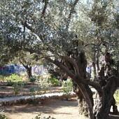 Olajfa a Gecsemáné kertben
