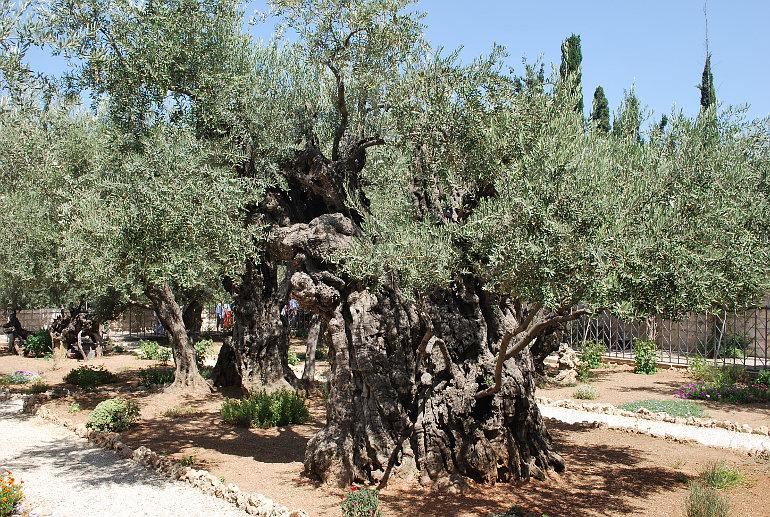 Olajfák a Gecsemáné kertben
