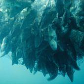 Hálóban vergődő halak a víz alól fényképezve