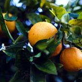 Csábító gyümölcsök